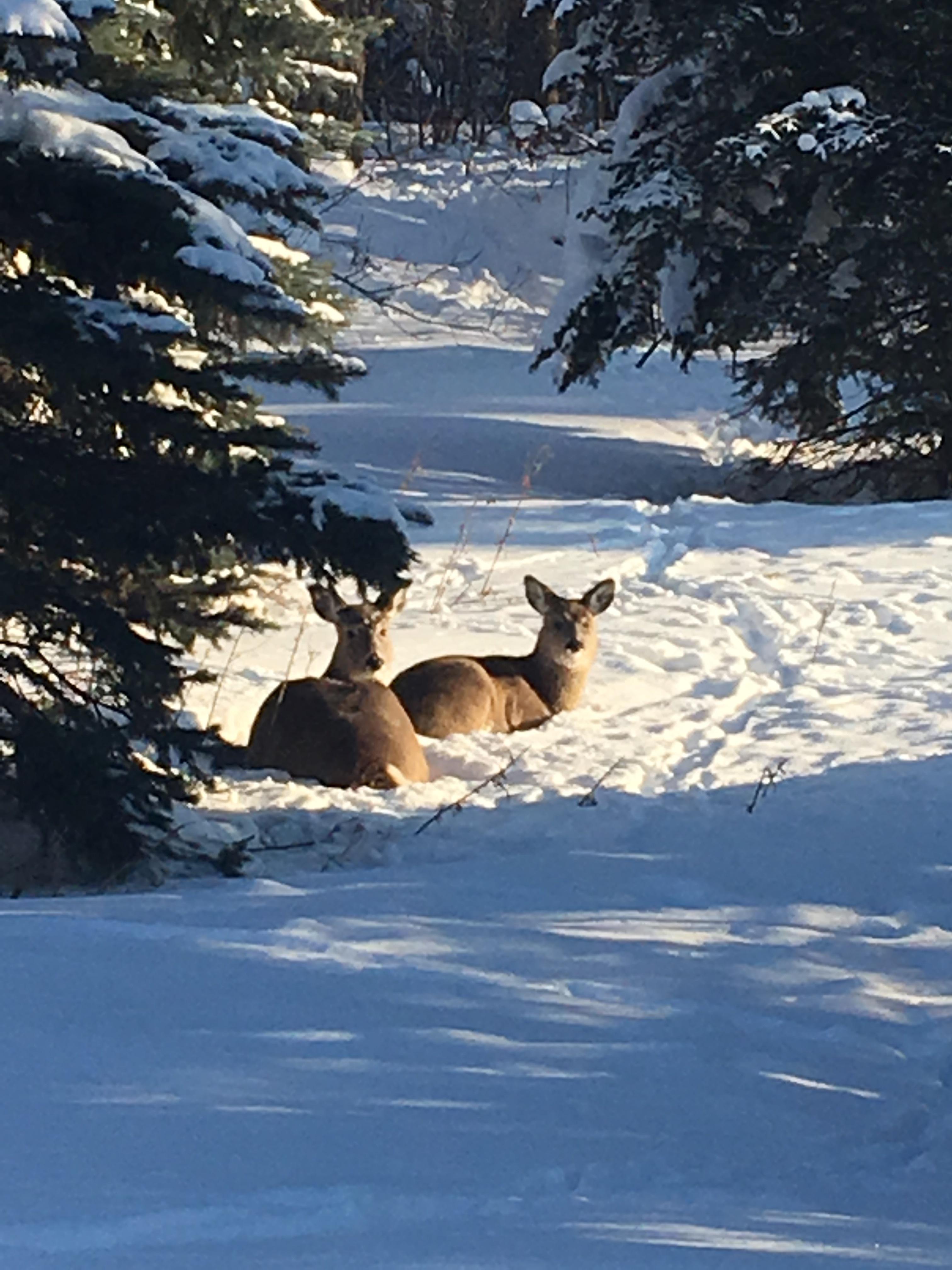 Two deer sitting in snow