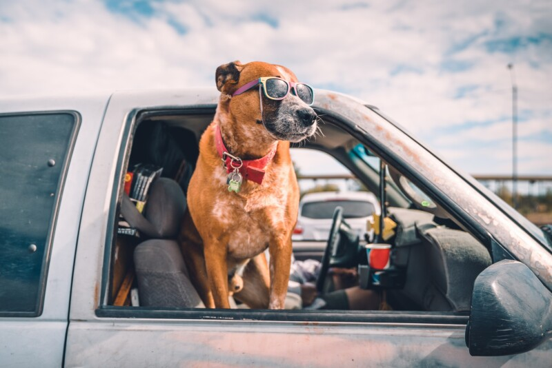 Cool dog with sunglasses enjoying pick-up ride on american highway